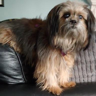 ginger-dog